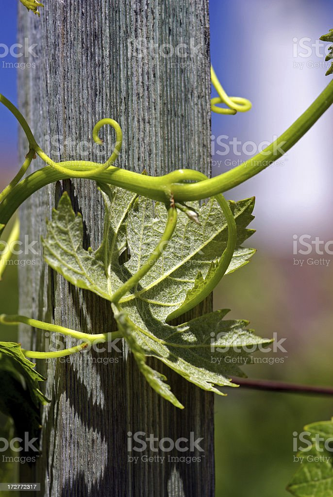 Grape Vine royalty-free stock photo