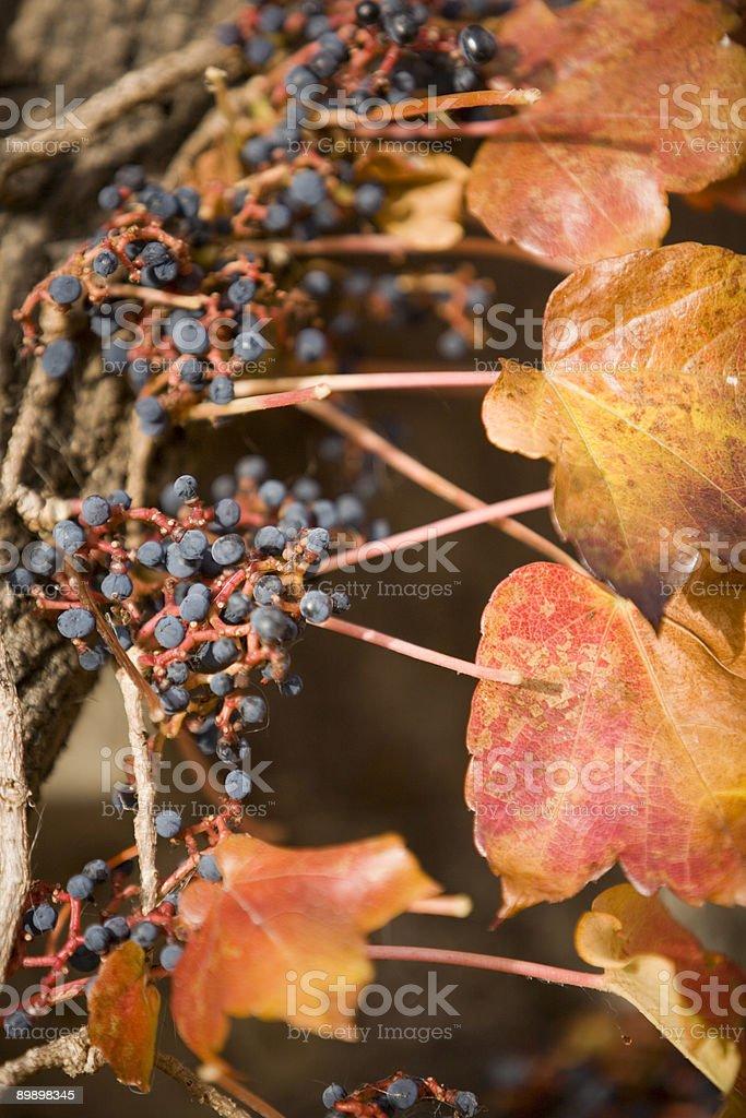 Grape Vine royalty-free stock photo