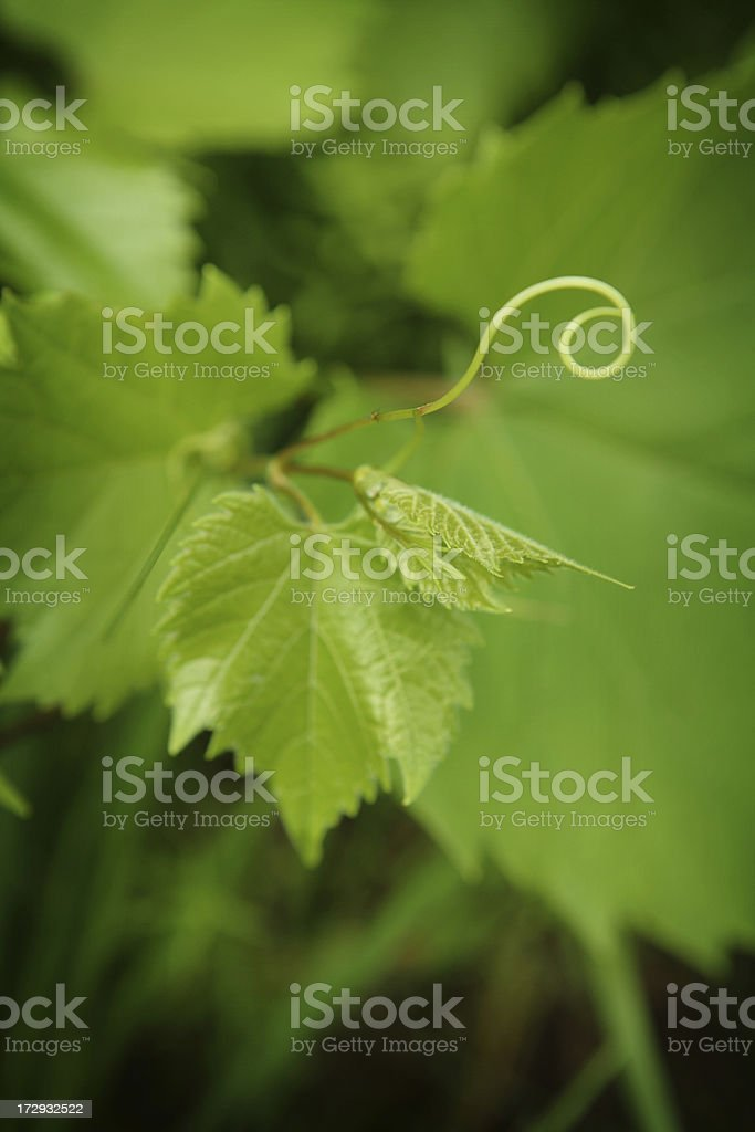 Grape Vine tendril royalty-free stock photo