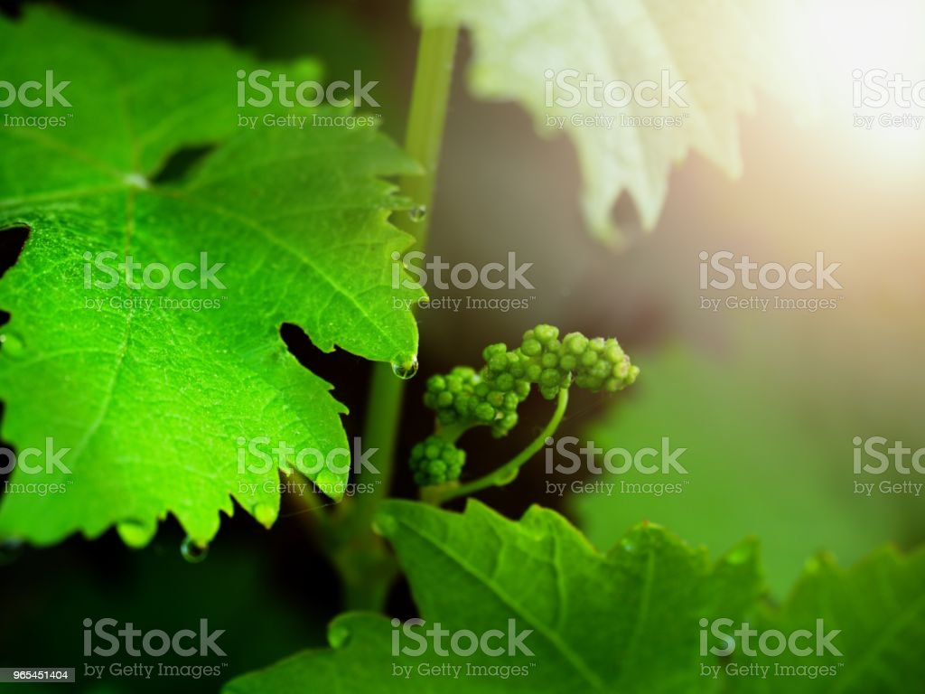 Grape vine with young leaves and buds blooming on a grape vine in the vineyard. royalty-free stock photo