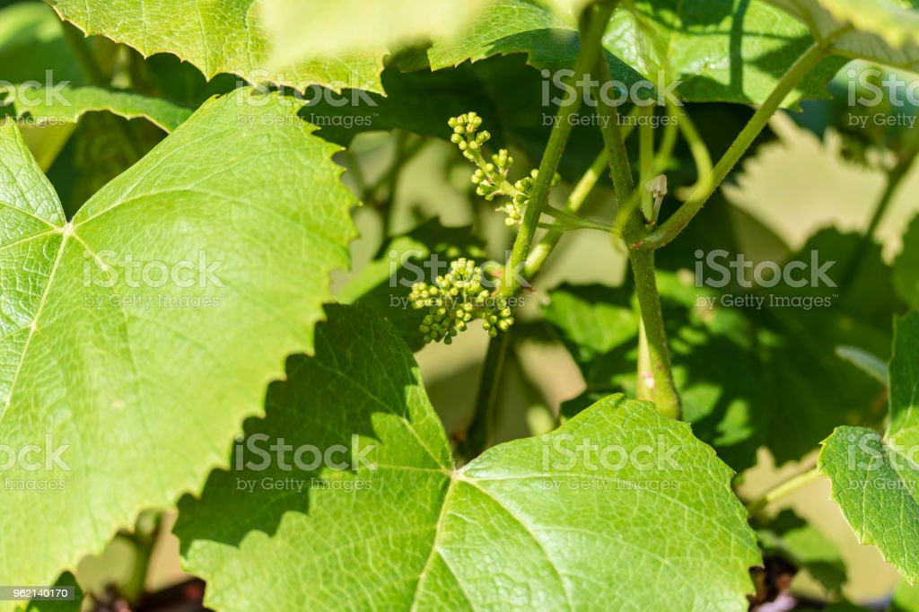grape vines are developing lots of concord grapes at this point stock photo