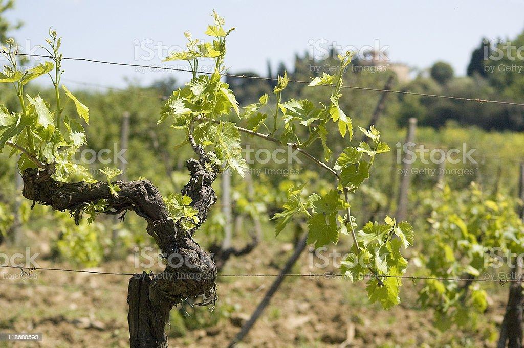 Grape Vines at a Tuscan Vineyard stock photo