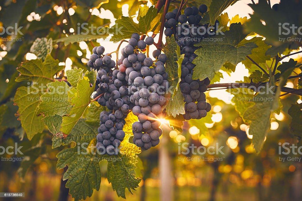 Grape vines bei Sonnenuntergang – Foto
