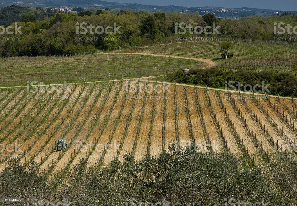 Grape vines being tendered in Tuscany, Italy. stock photo