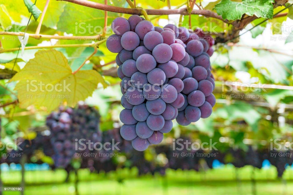 Grape vines close up stock photo