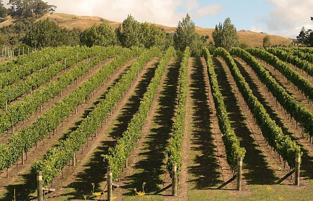 Grape vines, Hawkes Bay, New Zealand