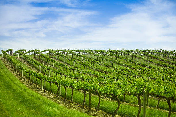 Grape vines in a row stock photo