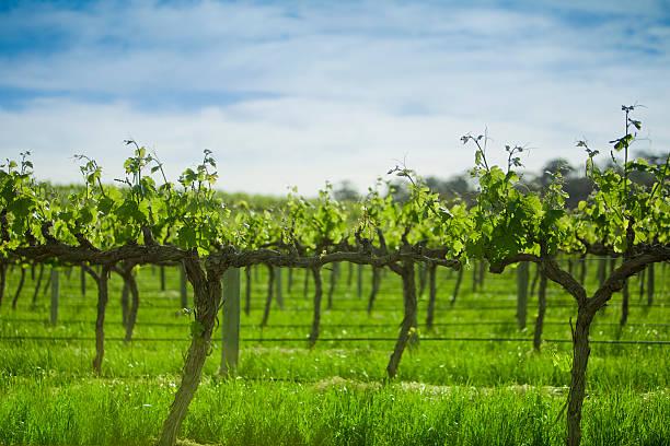 Grape vines in a row