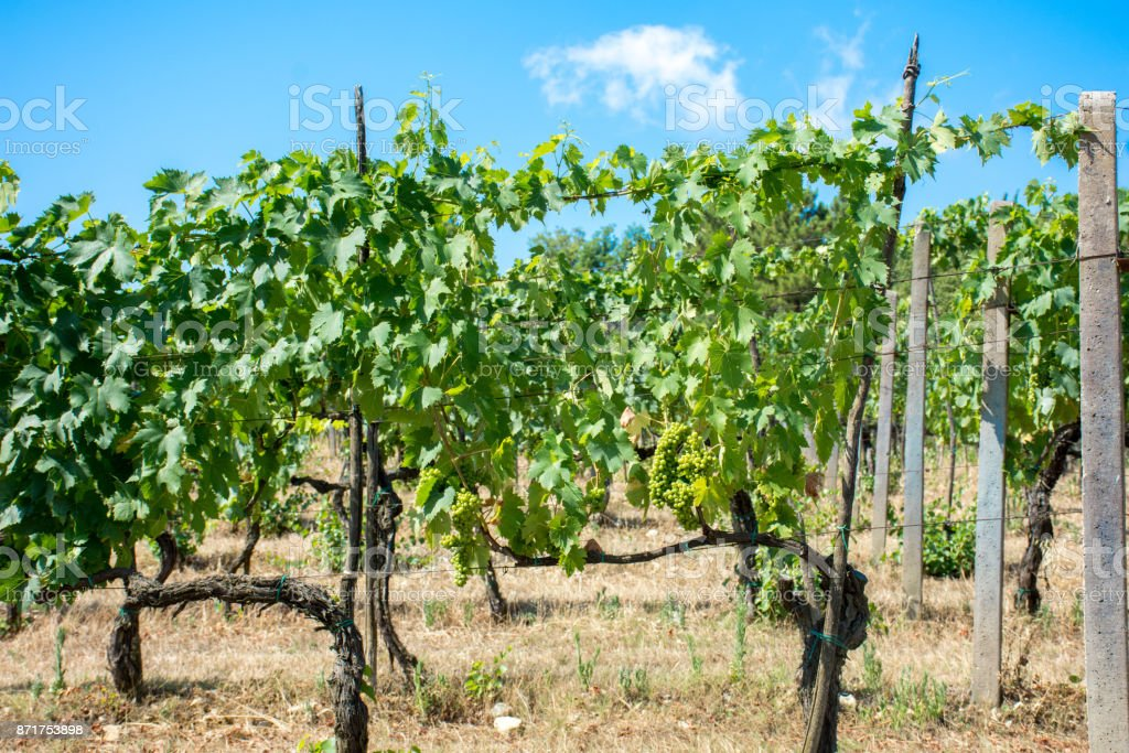Grape Vines in a Vineyard stock photo