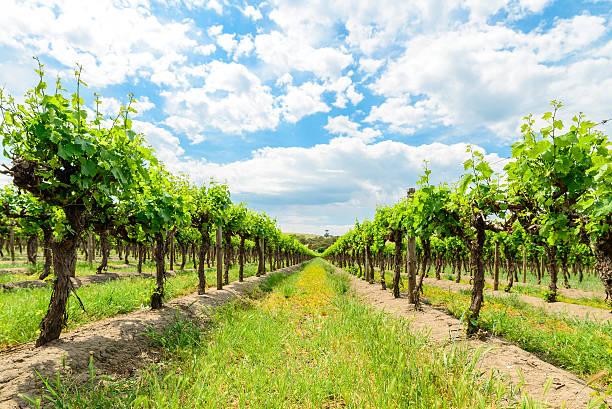Grape vines in Barossa stock photo