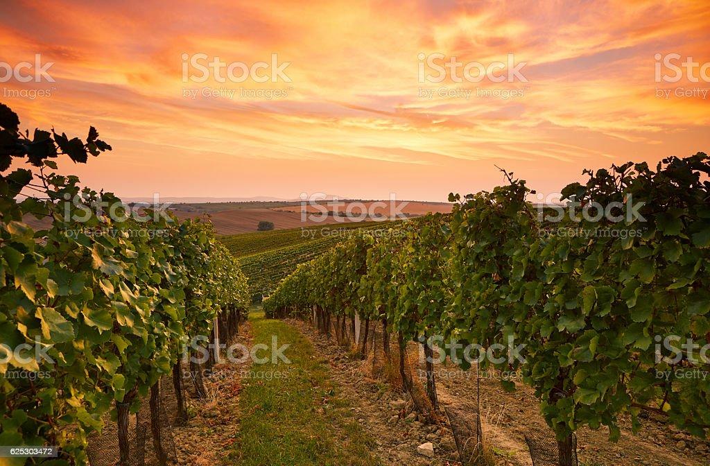 Grape vines in Moravia at sunset – Foto
