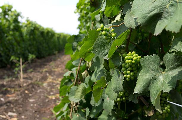 Grape Vines in Summer stock photo