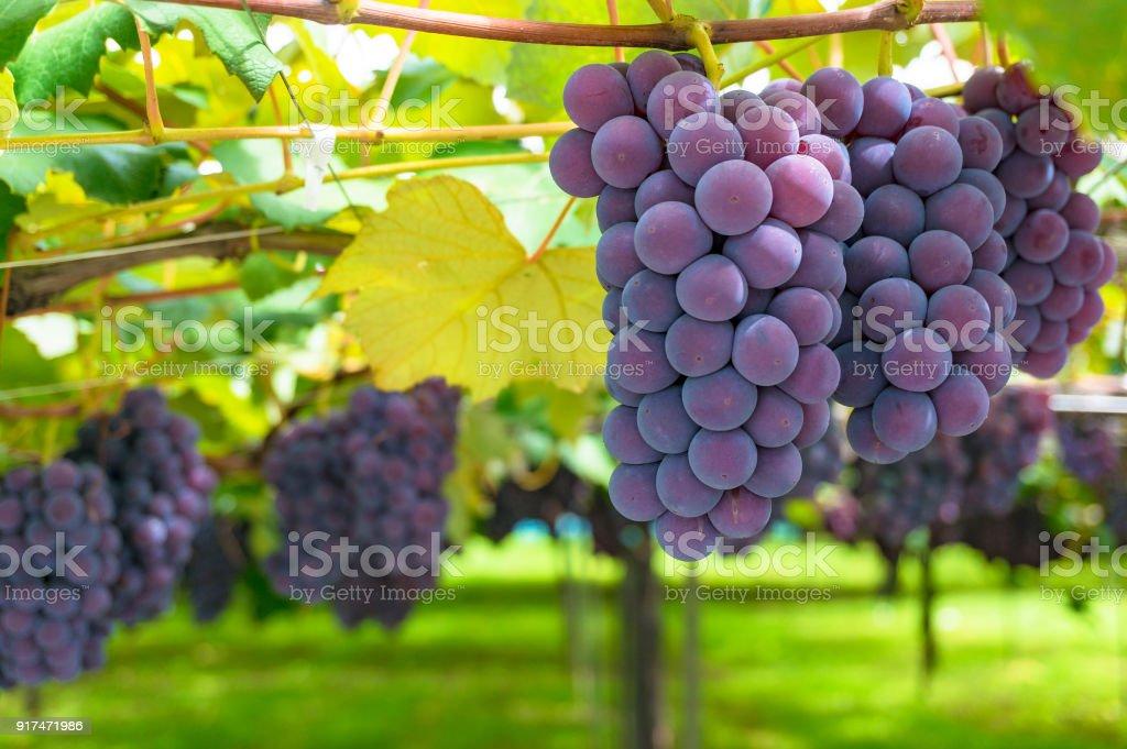 Grape vines of ripe grape in vineyard on sunny day stock photo