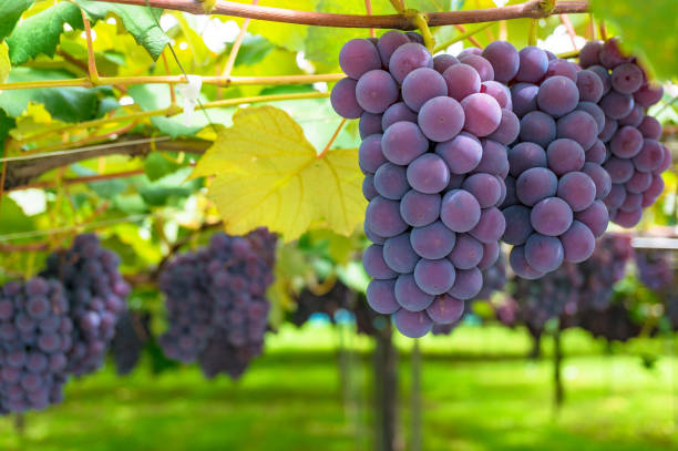 Grape vines of ripe grape in vineyard on sunny day Grape vines of ripe grape in vineyard on sunny day close up. Vineyard harvest time merlot grape stock pictures, royalty-free photos & images