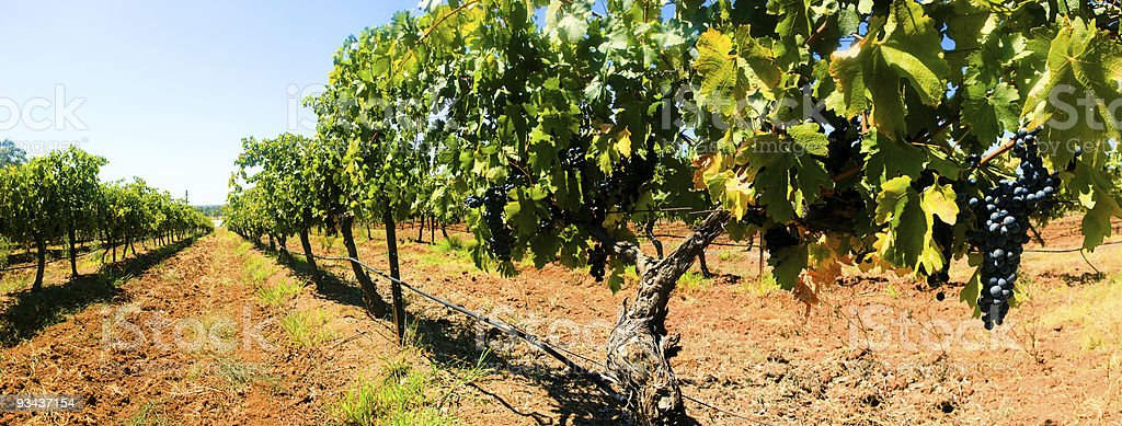 Grape Vines Panorama royalty-free stock photo