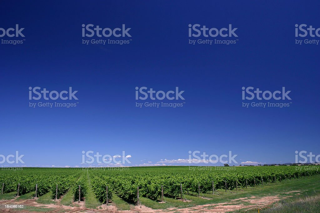 Grape Vines royalty-free stock photo