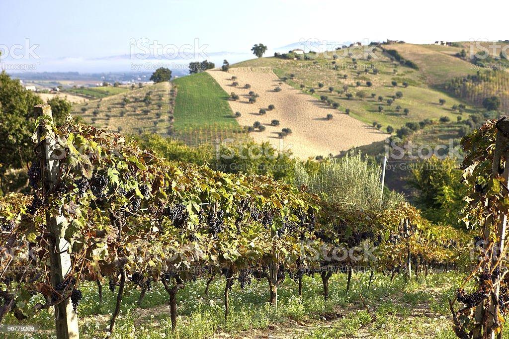 Winorośle na winogrona – zdjęcie
