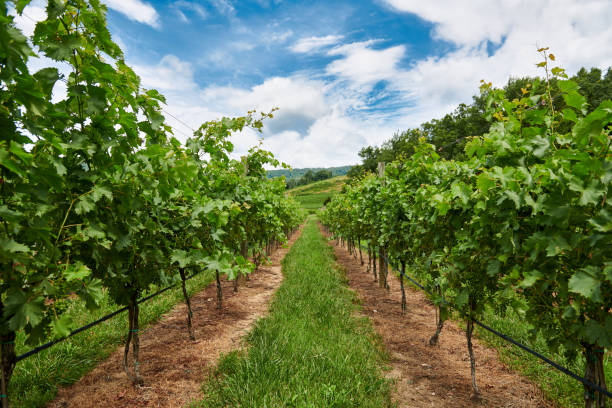 Grape vines under a blue sky in Charlottesville Virginia Looking in-between the grape vines with a striking blue sky charlottesville stock pictures, royalty-free photos & images