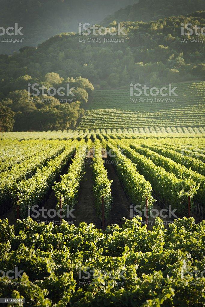 Grape Vines Vineyard Fields of Napa Valley Wine Country, California royalty-free stock photo