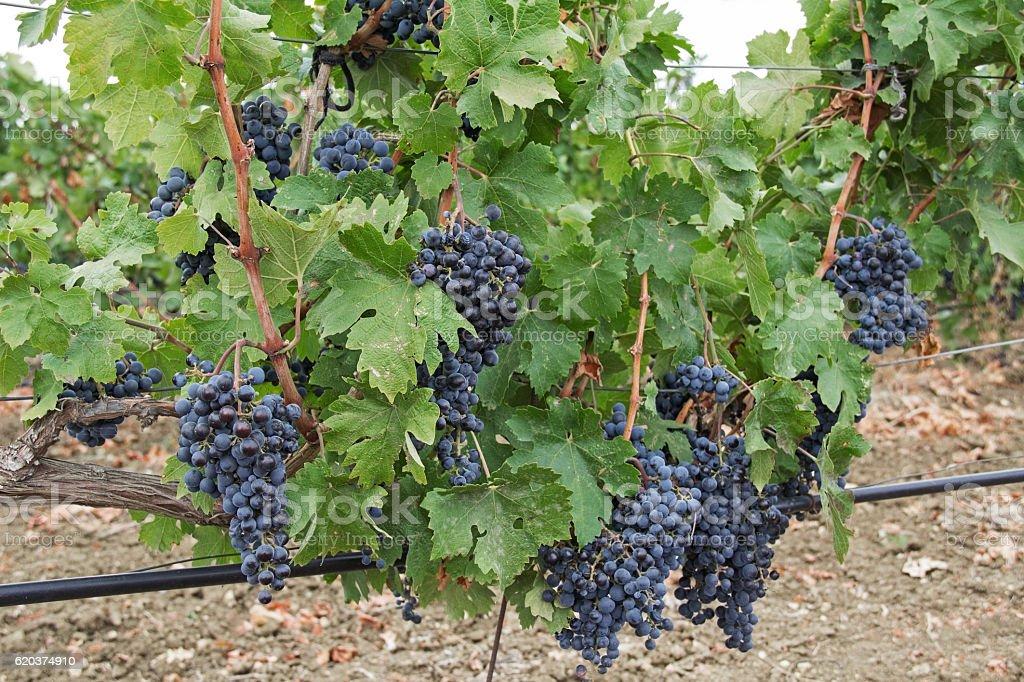 Grape vines with black grapes. Vineyard. Crimea. foto de stock royalty-free