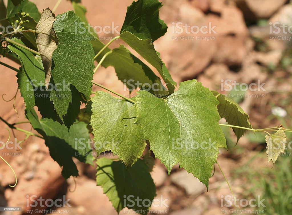 Виноградники с зеленые листья Стоковые фото Стоковая фотография