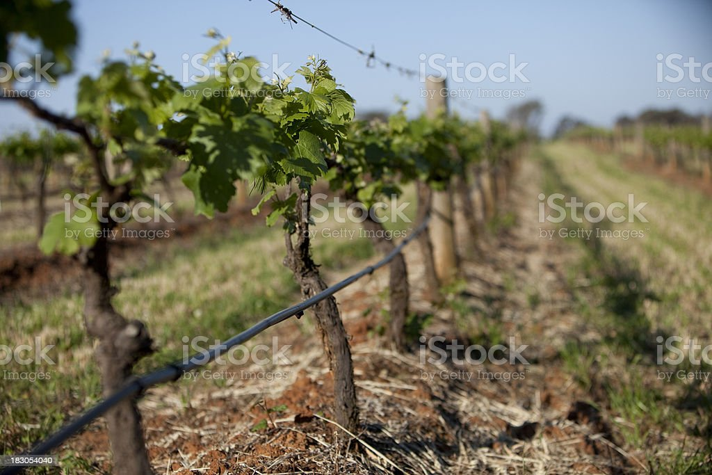 Grape vines with new sprouts royalty-free stock photo