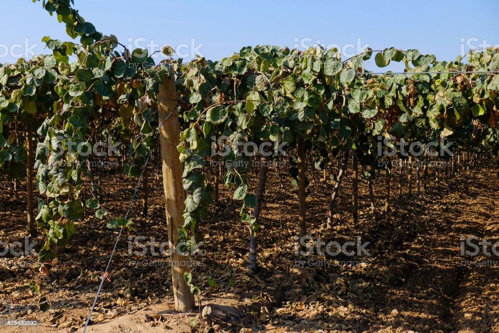 Grape Vineyard after Harvest. stock photo