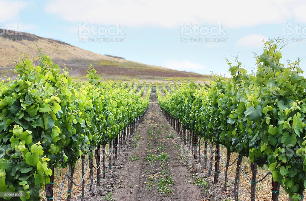 Grape Vineyard stock photo