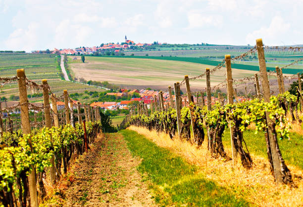Grape vineyards of South Moravia in Czech Republic Spring rural landscape with green vineyards and town at background. Grape vineyards of South Moravia in Czech Republic. Velke Pavlovice town moravia stock pictures, royalty-free photos & images