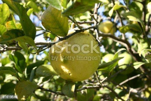 Grapefruit growing on tree