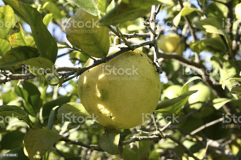 Grapefruit Growing on Tree stock photo