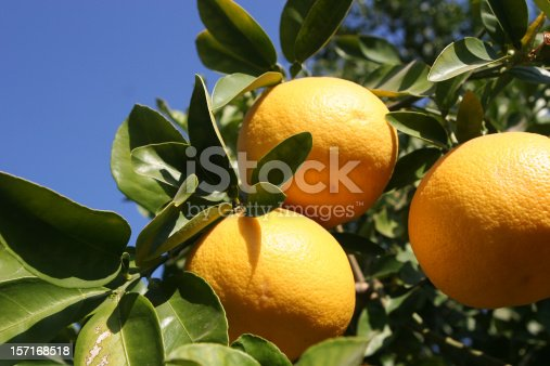 Looking up towards three grapefruits hanging from a tree with a blue sky in the background.