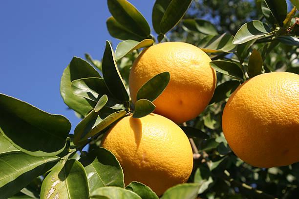 Grapefruit tree close-up to the fruit stock photo