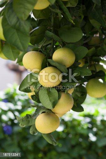 Grapefruit tree with fresh grapefruits.