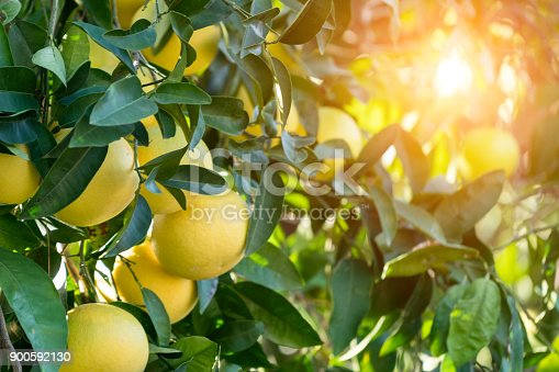 Grapefruit Tree sunset background