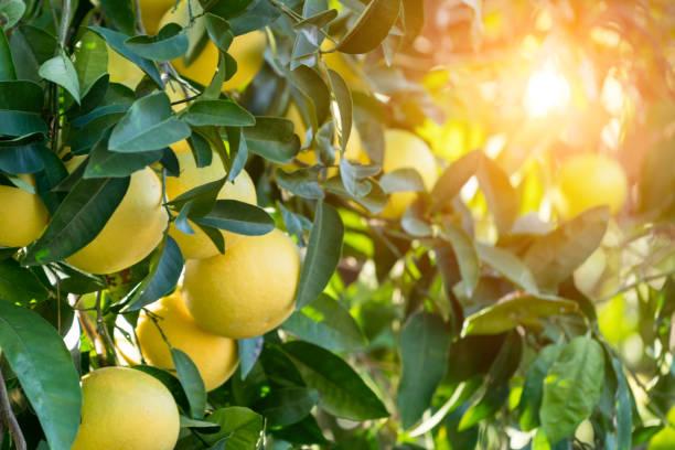 グレープフルーツの木 - グレープフルーツ ストックフォトと画像