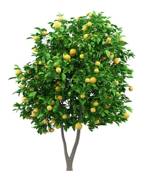 grapefruit boom met grapefruits geïsoleerd op witte achtergrond - fruitboom stockfoto's en -beelden