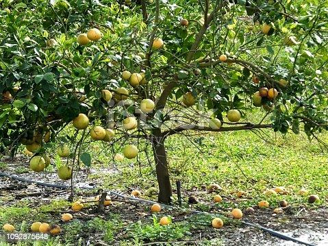 Florida grapefruits growing on a tree