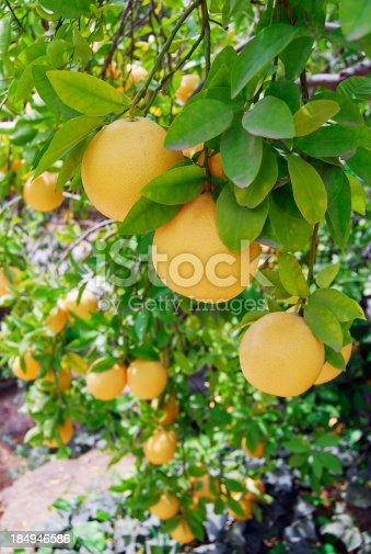 Close up image of a grapefruit tree bearing fruit.