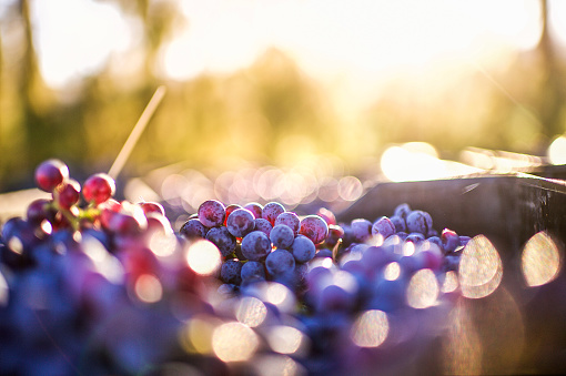 istock Grapes after being harvested 808184074