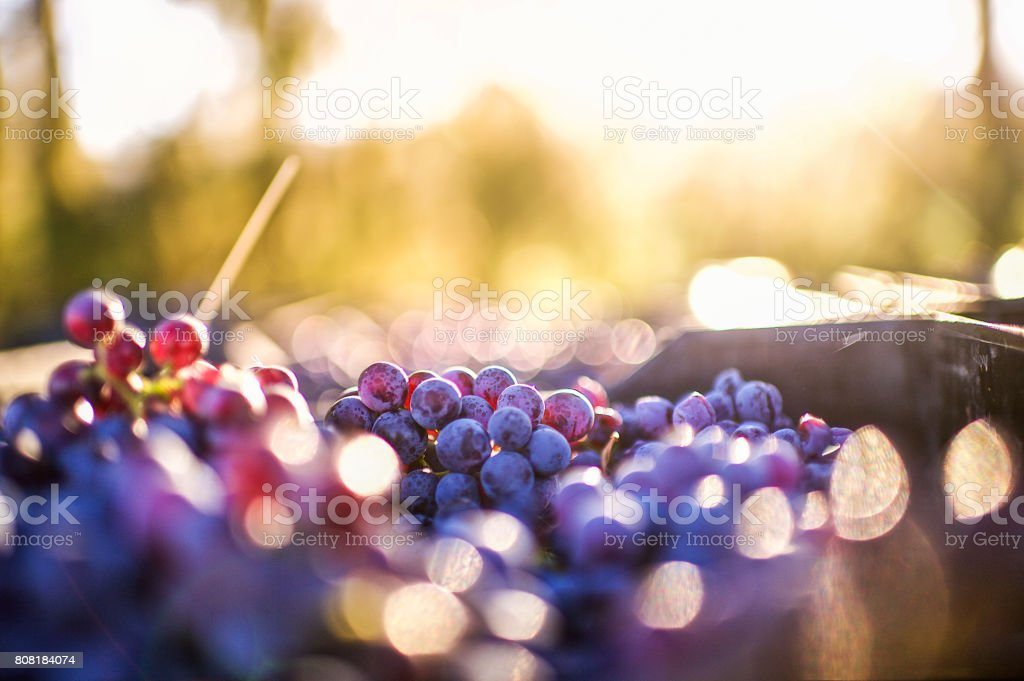 Grapes after being harvested stock photo