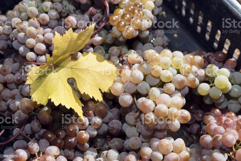 Grapes Amber Harvest Crate Leaf stock photo