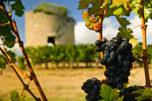 Grapes and medieval tower in vineyard, Medoc, Bordeaux, France