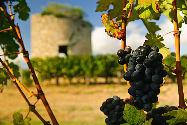 Grapes and medieval tower in vineyard, Medoc, Bordeaux, France stock photo