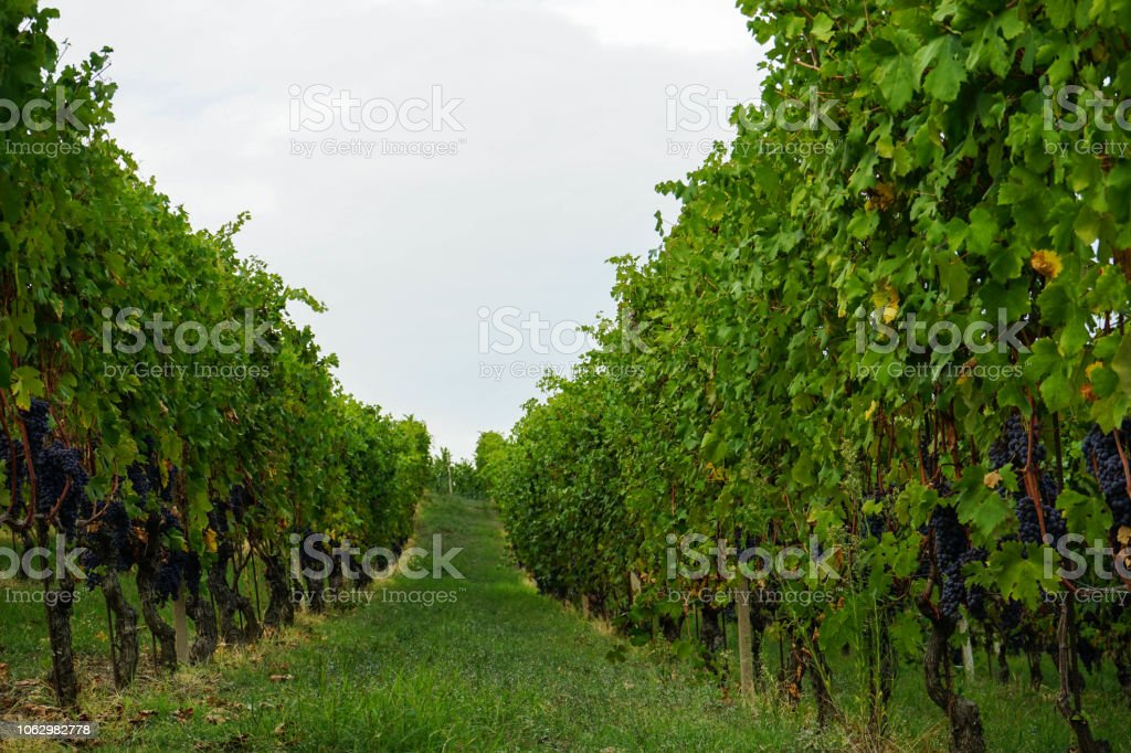 Grapes and vineyards - foto stock