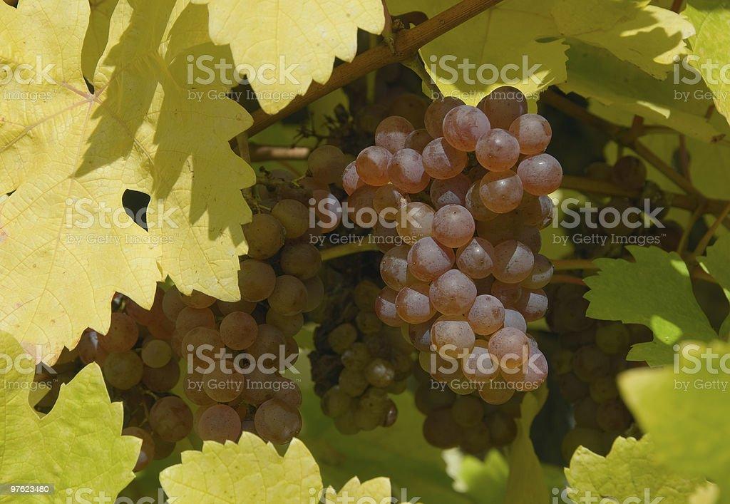 Raisins dans un vignoble en Autriche, gros plan photo libre de droits