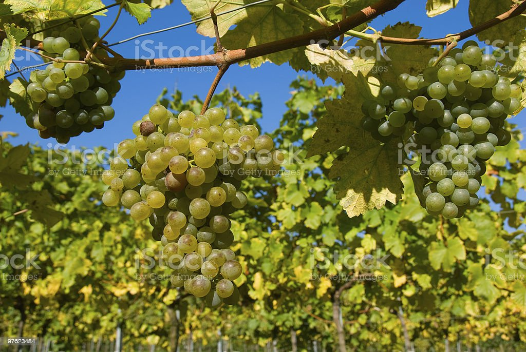 Grapes at a vineyard in Austria, closeup royalty-free stock photo
