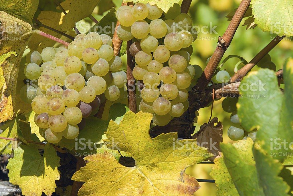 Grapes at a vineyard in Austria, closeup royalty-free stock photo