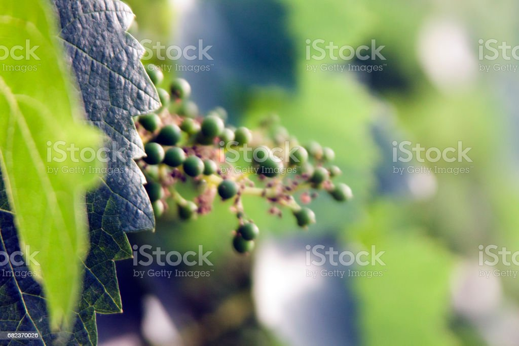 Grapes at the beginning of their growth Baby Grapes zbiór zdjęć royalty-free