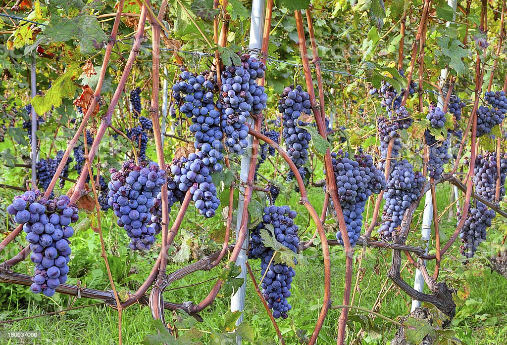 Grapes before harvesting. Piedmont, Italy. royalty-free stock photo